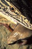 Monitor lizard eating Royalty Free Stock Photo