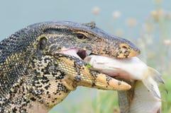 Monitor lizard eating fish. Huge monitor lizard eating a big fish at a waterfront Royalty Free Stock Image