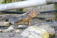 Monitor lizard eating fish Stock Image