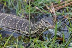 Monitor Lizard with focus on head Stock Photos