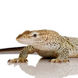 Monitor lizard - Freckled Monitor Royalty Free Stock Photography