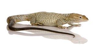 Monitor lizard - Freckled Monitor - Varanus tristi Stock Photos