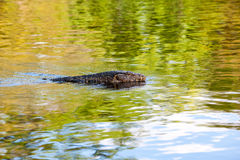 The Monitor lizard Royalty Free Stock Photography