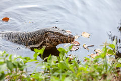 The Monitor lizard Royalty Free Stock Images