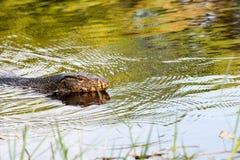 The Monitor lizard Royalty Free Stock Photos