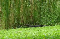 Monitor Lizard Among the Grass Stock Image