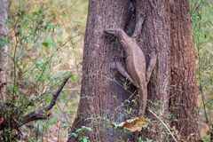 Monitor Lizard in habitat Royalty Free Stock Images