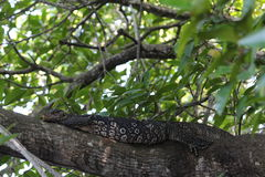 The monitor lizard having a rest on a tree. Royalty Free Stock Images