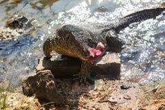 Monitor lizard. Huge Monitor lizard in the water feed on with tuna fish   - Hikkaduwa, Sri Lanka Stock Image