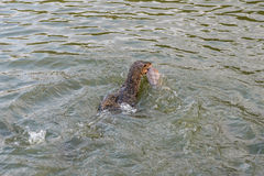 Monitor lizard hunting fish. Monitor lizard swimming and hunting fish with it mouth Royalty Free Stock Image
