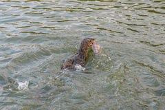 Monitor lizard hunting fish. Royalty Free Stock Image