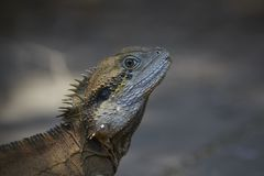 Monitor lizard or iguana in wild Stock Photo