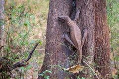 Free Monitor Lizard In Habitat Royalty Free Stock Images - 52250259