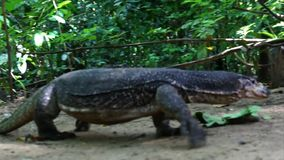 Monitor lizard in jungle Stock Images