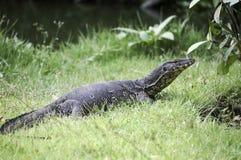a monitor lizard in the jungle stock photo