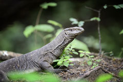 Monitor Lizard Stock Photo