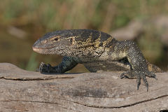 Monitor lizard laying on log Stock Photo