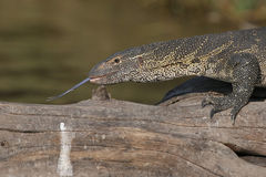 Monitor lizard laying on log Royalty Free Stock Photos