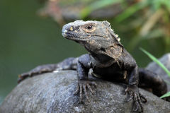 Monitor lizard looking at the camera, Royalty Free Stock Photos