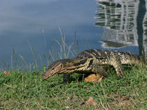 Monitor lizard Stock Photos