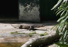 Monitor Lizard. In Kadoorie Farm and Botanic Garden in Hong Kong stock photos