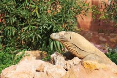 Monitor lizard. Monitor lizard in the national park royalty free stock photography