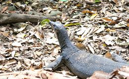 Monitor Lizard moves in the jungle . Philippines. Stock Photo