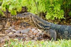 Monitor lizard at park Stock Photography
