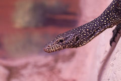 Monitor Lizard Stock Photography
