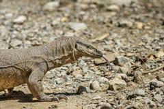 Monitor lizard. Preying at Corbett National Park, India Stock Photos
