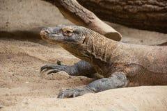 Monitor lizard profile royalty free stock photo