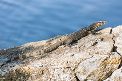 Monitor lizard Royalty Free Stock Image