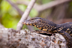 Monitor lizard resting on a tree branch Royalty Free Stock Photo