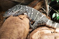 Monitor Lizard Royalty Free Stock Photo
