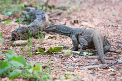 Monitor Lizard running in forest floor. Bengal monitor lizard sighted in the forest floor of western ghats India. Note that it is moulting its skin Royalty Free Stock Photography