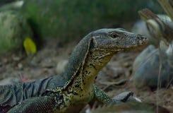 Monitor Lizard. At Shangri-La Rasa Ria Resort, Borneo stock photography