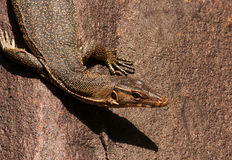 Monitor lizard sitting on the stone. Malaysia.Tioman island , summer.Monitor lizard sitting on the stone and warming oneself up in the sun Royalty Free Stock Photos