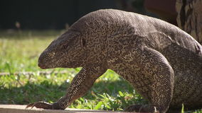 The monitor lizard. royalty free stock images