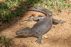Monitor Lizard. In Sri Lanka Stock Image
