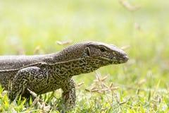 Monitor Lizard (Sril Lanka) Stock Photography