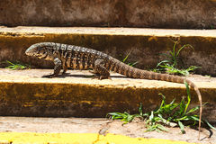 Monitor lizard on stairs looking for camera Royalty Free Stock Photography