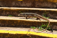 Monitor lizard on stairs profile Royalty Free Stock Photography