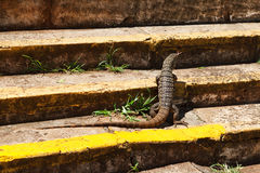Monitor lizard on stairs Stock Image