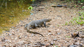 Monitor Lizard in Sumatra, Indonesia. Monitor Lizard in Bukit Lawang - Sumatra, Indonesia Stock Image