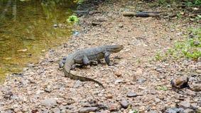 Monitor Lizard in Sumatra, Indonesia Stock Image