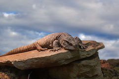 Monitor Lizard Suns on Rock Royalty Free Stock Images