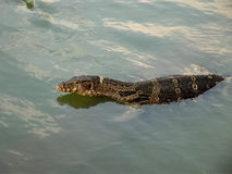 Monitor lizard swimming stock photography