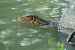 Monitor Lizard swimming in river Royalty Free Stock Photos