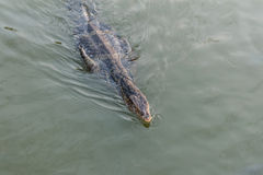 Monitor lizard swimming. Royalty Free Stock Photography