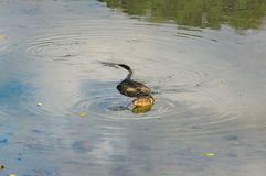 Monitor lizard swimming in a shallow river. royalty free stock photo